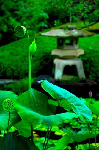 Lotus Garden, Tokyo Japan, photo